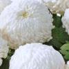 crizantema-floare-mare-alb-2-001-Copy