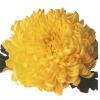 crizantema-floare-mare-galben-001-Copy-Copy
