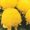 crizantema-floare-mare-galben-001-Copy