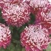 crizantema-floare-mare-multicolor-001-Copy