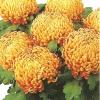 crizantema-floare-mare-multicolor-001