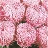 crizantema-floare-mare-roz-001
