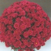 crizantema-multiflora-rosu-roz-mov-001-Copy-2