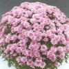 crizantema-multiflora-rosu-roz-mov-001-Copy-3