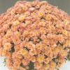 crizantema-orange-001-Copy-3