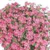 muscate-floare-simpla-4-001-Copy-2