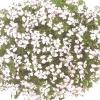 muscate-floare-simpla-4-001