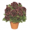 muscate-grandiflorum-002-Copy-3