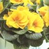 primula-galben-001
