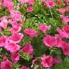 petunia hot pink