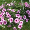 petunia rose vain