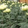 crizantema floare mare alb