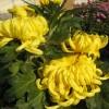 Crizantema floare mare galben
