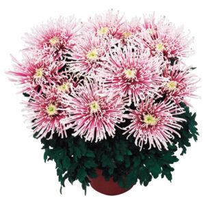 crizantema cu floare mare chusan