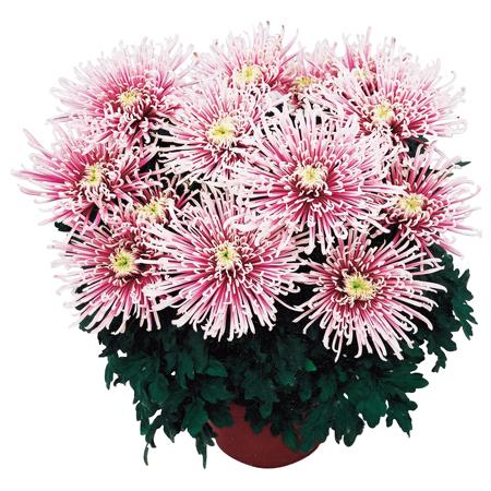 Crizantema cu floare mare