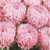 crizantema floare mare roz 001