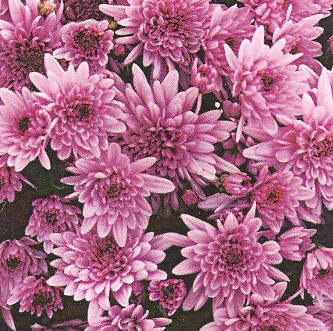 Crizantema Multifloră