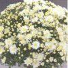 crizantema multiflora alb galben