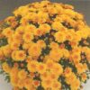 crizantema multiflora alb galben - Copy