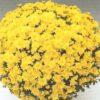 crizantema multiflora alb galben - Copy (3)