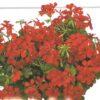 muscate cu floare simplă 001