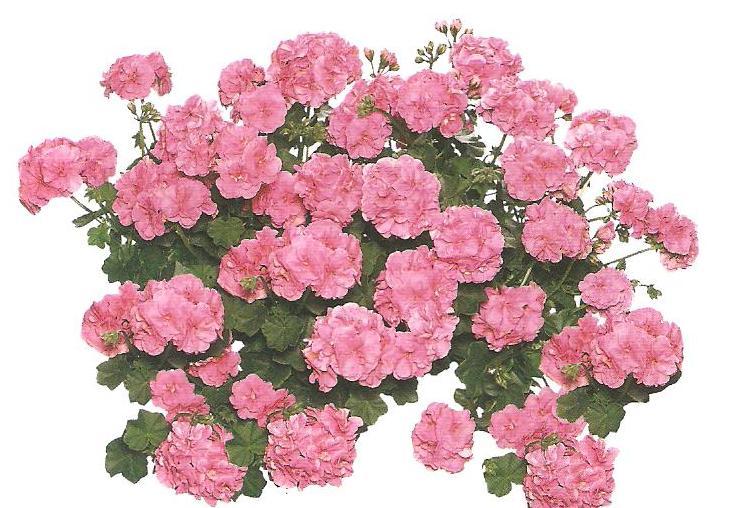 Muşcate (pelargonium)