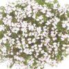 muscate floare simpla 4 001