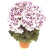 muscate grandiflorum 002 - Copy (2)