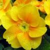 primula galben