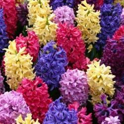Zambile-  Hyacinthus