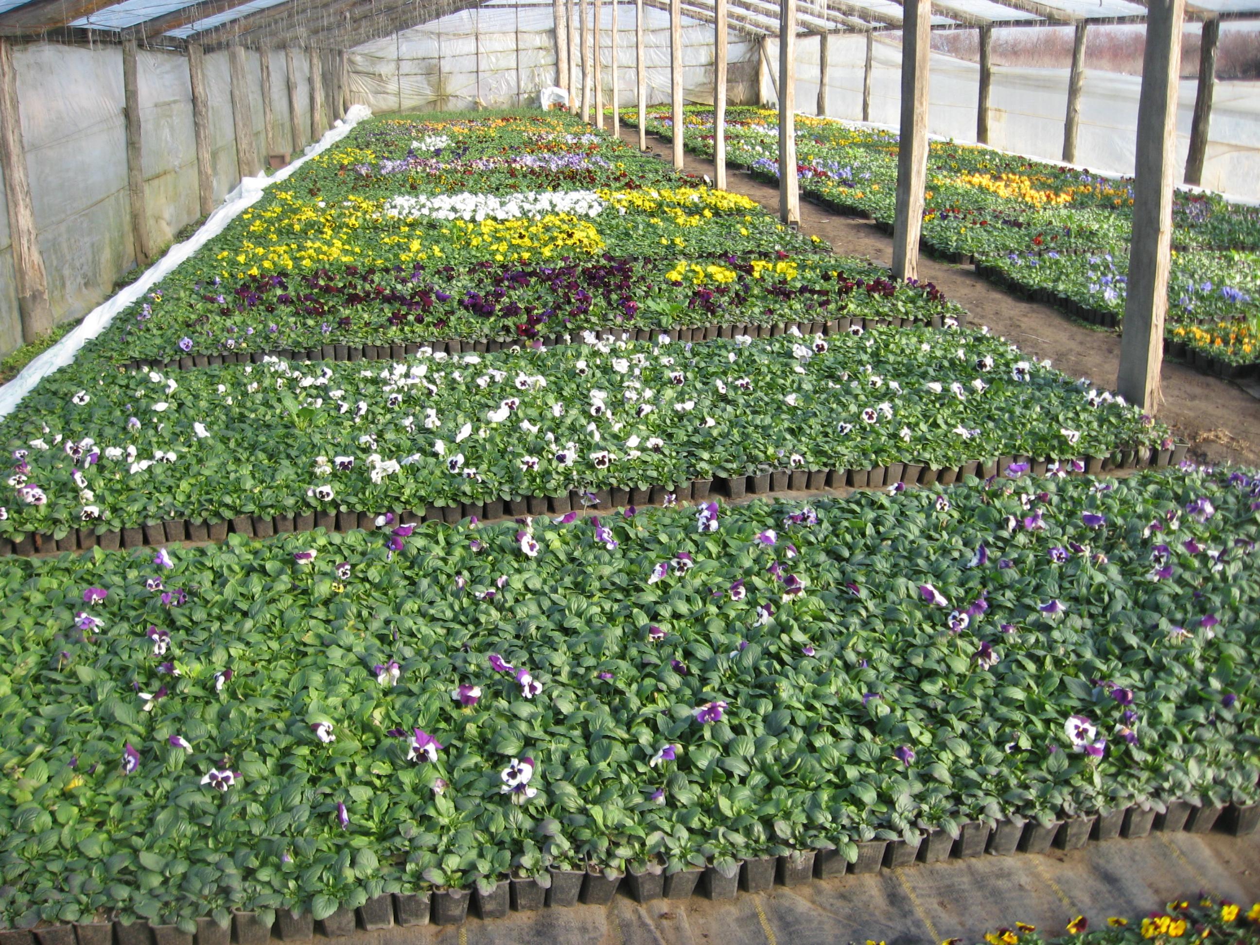 Cultivarea panselelor  – Viola witrockiana