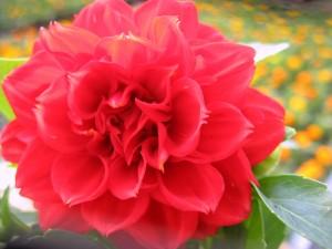 dhalia rosu