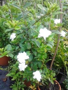 Gardenia,planta de ghiveci,flori parfumate to  =?utf-8?B?YXRhIHZhcmEsZXhwdW5lcmUgbGEgdW1icmEsLCxnaGl2ZWNpIG1lZGl1IHBy?= et 7€,,,