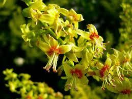 koelreuteria flori