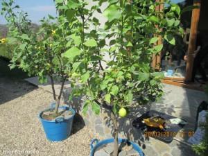 27448241_3_644x461_lamai-altoit-pe-rod-fructe-pomi-fructiferi