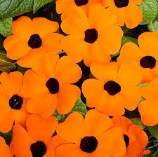 thumbergia portocaliu