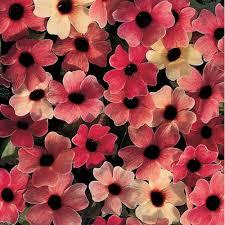 thumbergia roz