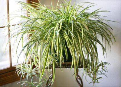 Planta păianjen – Chlorophytum comosum