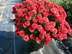 Crizantemele multiflora își intră în drepturi…